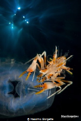 Lembeh strait - tiger shrimp in double exposure by Massimo Giorgetta